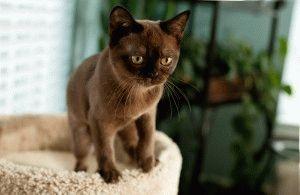 Бурманская кошка котята