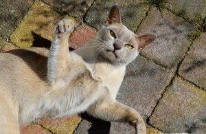 Бурманская кошка описание породы