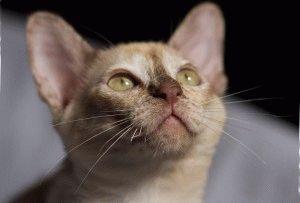 Бурманская кошка фото и цена