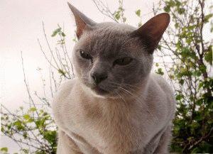 Бурманская кошка характер отзывы