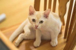 Бурманская кошка цена