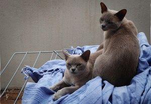 Бурманские кошки отзывы