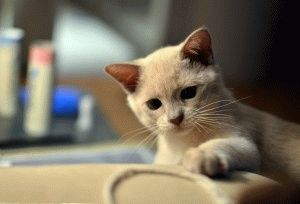 Котёнок бурманской кошки фото