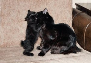 Кошки курильский бобтейл