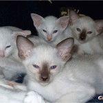 Питомник сиамских котов «Givani Cattery»