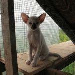 Питомник сиамских кошек «Smaragd»
