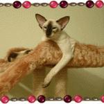 Питомник сиамских кошек «Solarland»