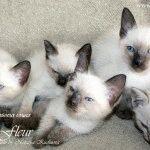 Питомник сиамских кошек «ThaiFleur»