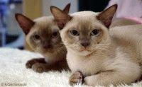 Порода кошек бурманская фото