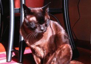 Порода кошки бурманская