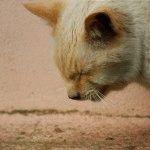 Кашель у кошки причины и лечение