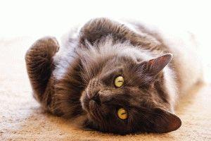 Кот нибелунг фото