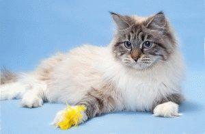 Кошка невская маскарадная фото