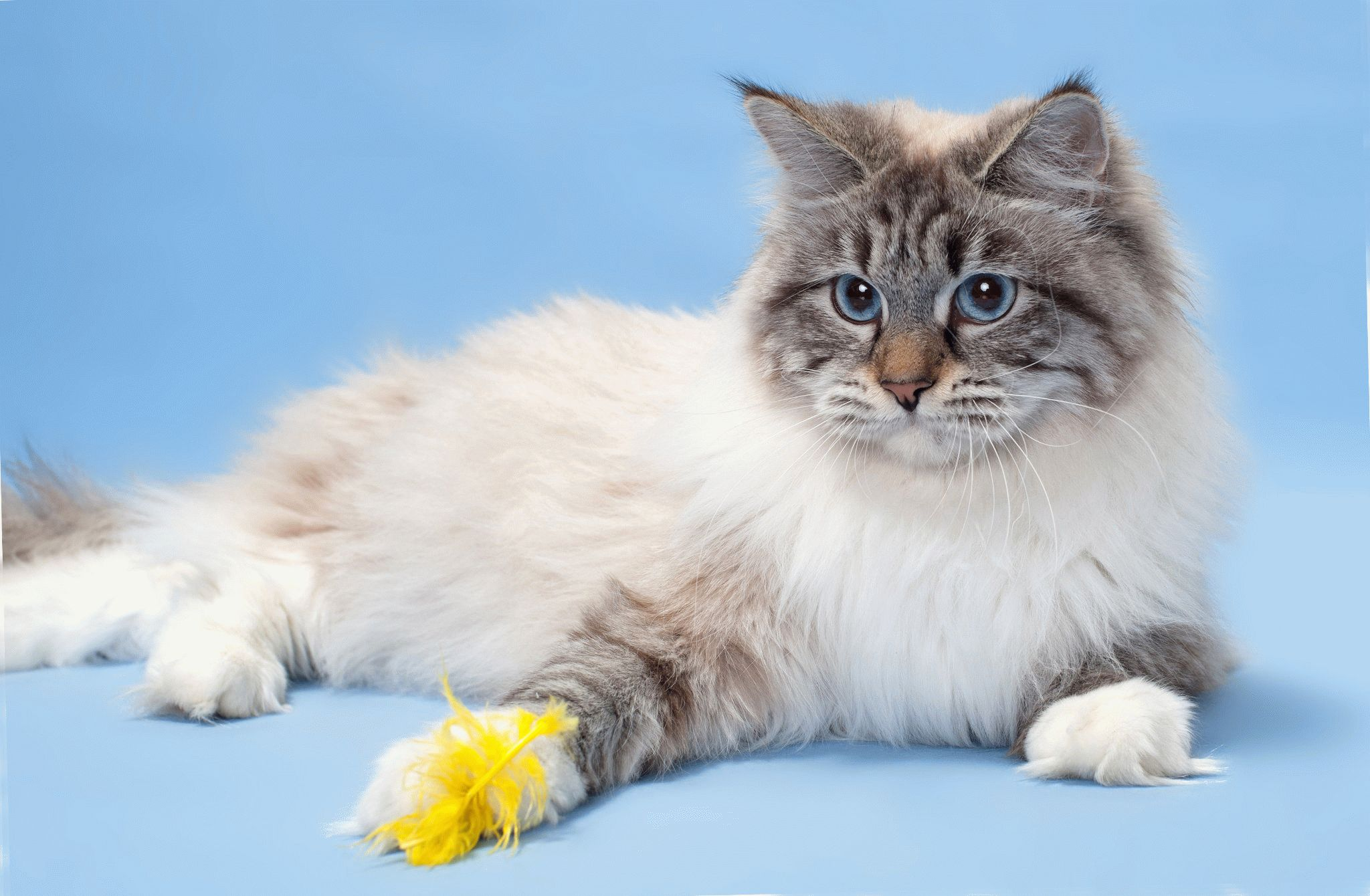 порода кошек невская фото