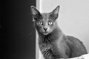 Кошка нибелунг фото