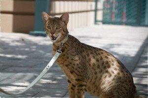 Кошка саванна f1