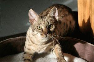 Кошка саванна f3 фото