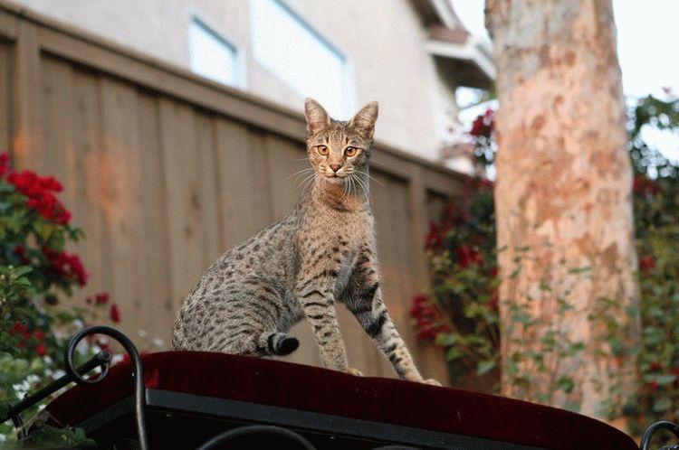 Саванна - порода кошек леопардового окраса