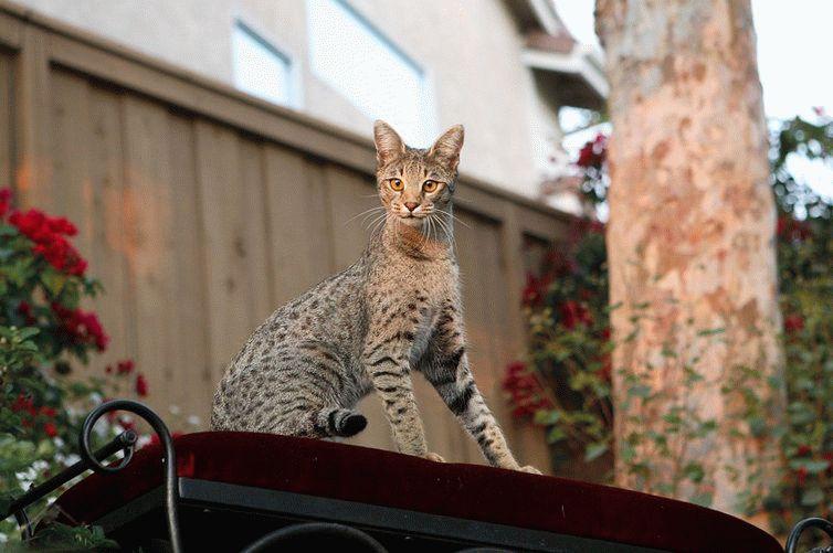 Кот с тигровым окрасом цена
