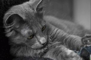 Лечение кошки нибелунг