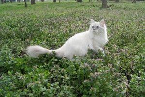 Невская маскарадная кошка описание породы