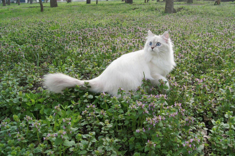 Невская маскарадная О породе кошек описание породы