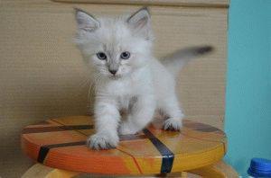 Невская маскарадная цена котёнка