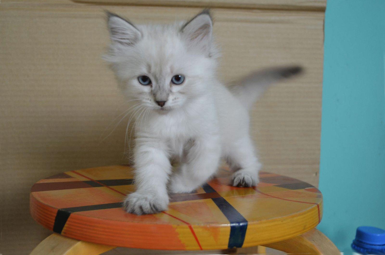 Невский маскарадный кот фото и цена
