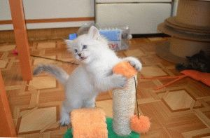 Невский маскарадный котёнок