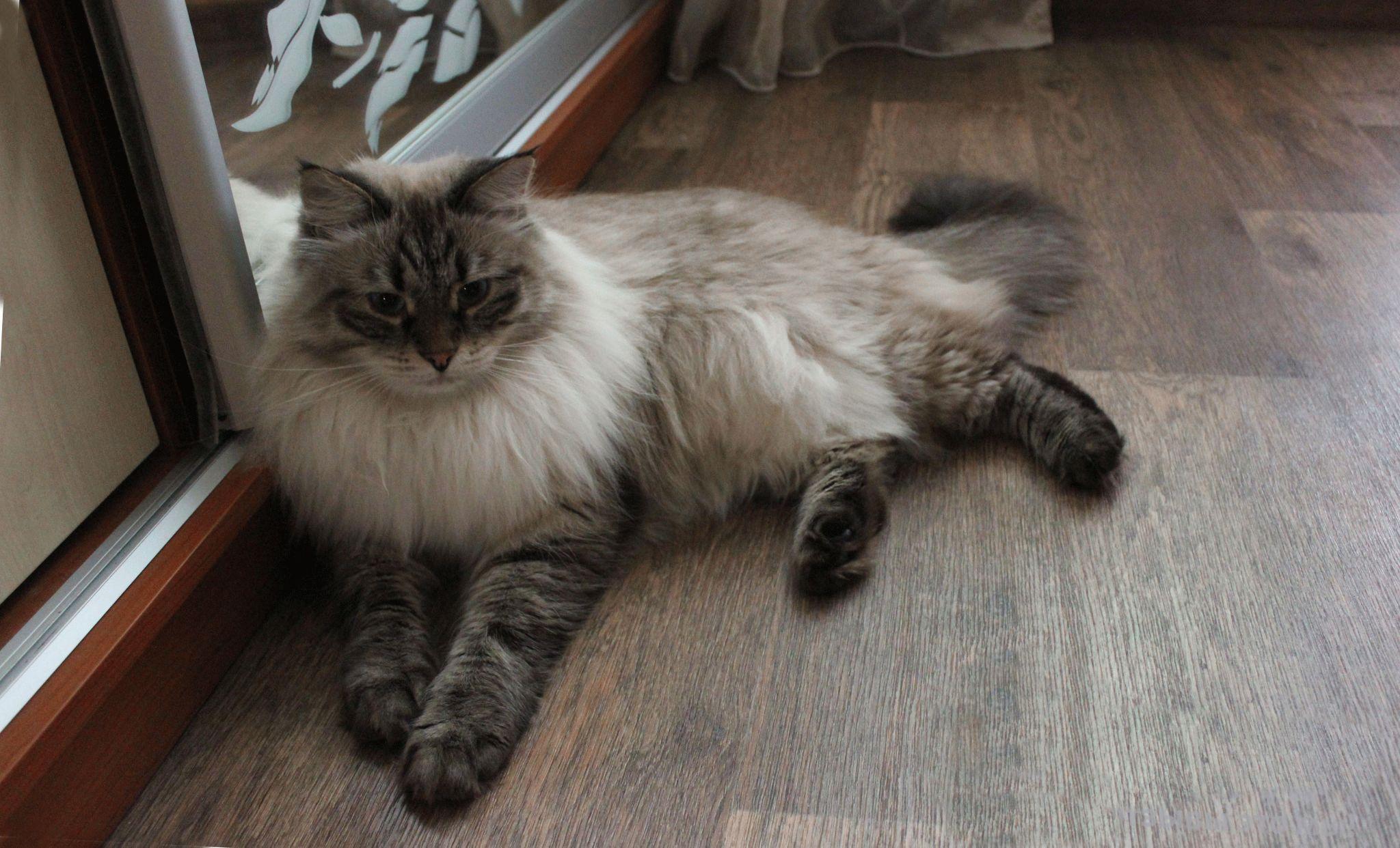 Коты невские сибирские маскарадные