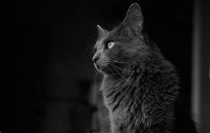 Нибелунг кошка фото