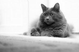 Описание породы кошек Нибелунг