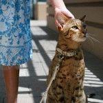 Питомник кошек Саванна «L'UNICORNE»
