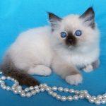 Питомник невских маскарадных кошек «Жемчуг Невы»