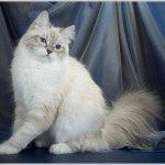 Питомник невских маскарадных кошек «Злато Зиберио