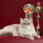 Питомник невских маскарадных кошек «Лунная Дымка»