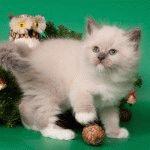 Питомник невских маскарадных кошек «Невская Тайна»