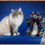 Питомник невских маскарадных кошек «Сибирское Созвездие»