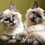 Питомник невских маскарадных кошек «Semiramida»