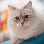 Питомник невских маскарадных кошек «Silver Forest»