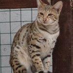 Питомник сиамских кошек «GOLDEN SAVANNAHS»