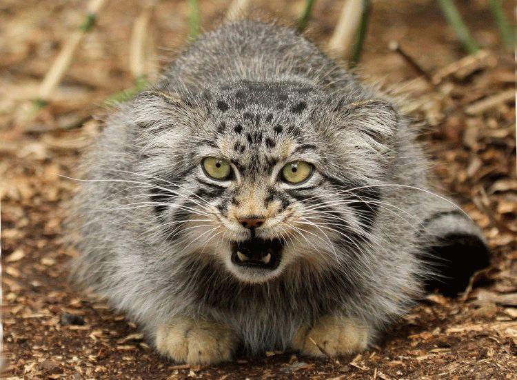 Породы кошек с приплюснутой мордой - Манул