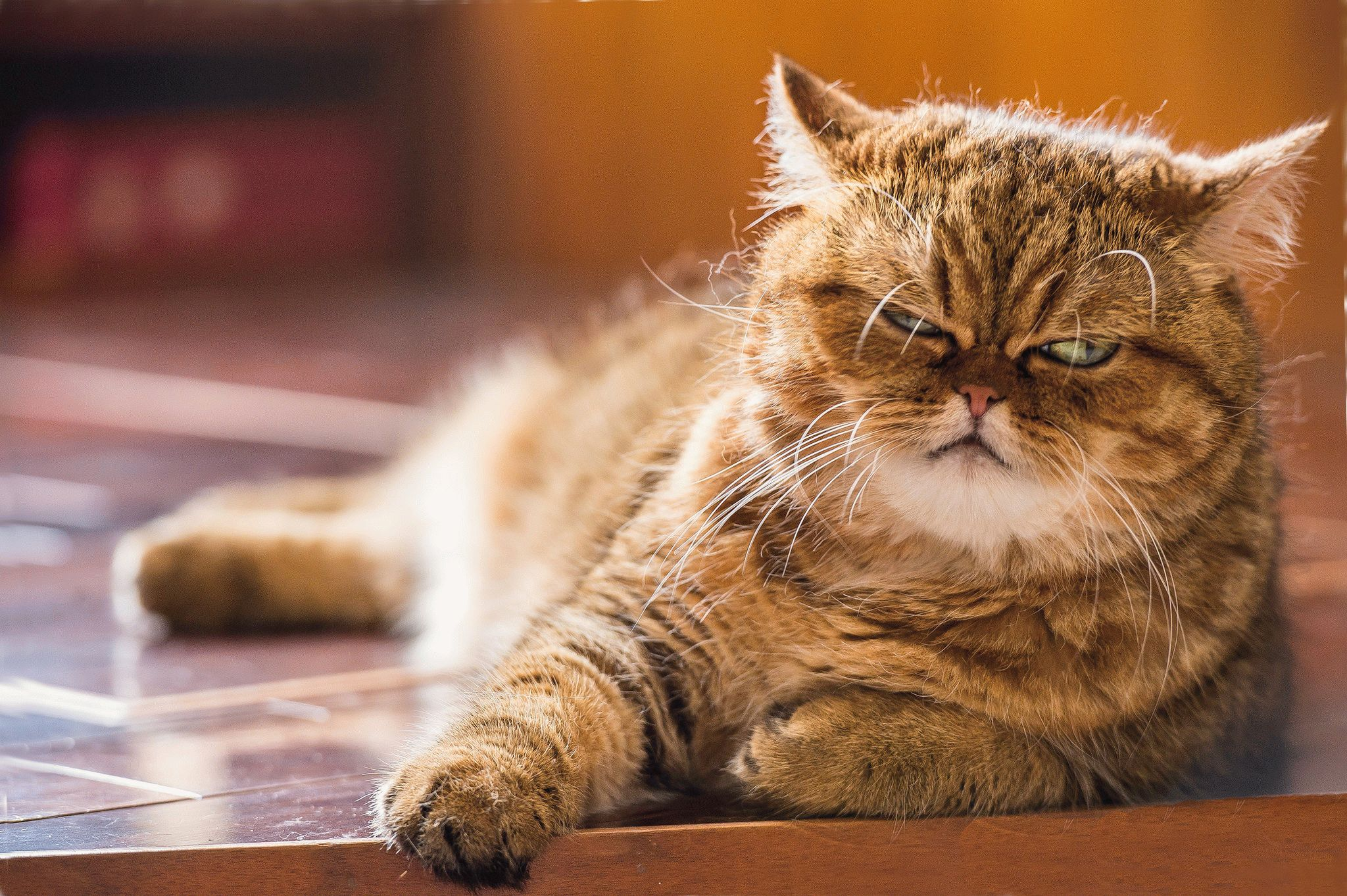 Какая самая крупная порода домашних кошек фото