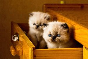 Породы кошек с приплюснутой мордой фото 3