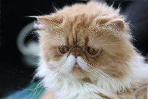 Породы кошек с приплюснутой мордой фото 4