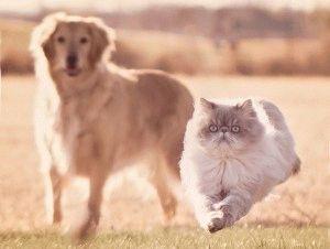 Породы кошек с приплюснутой мордой фото 5