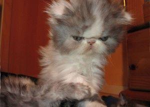 Породы кошек с приплюснутой мордой фото 6