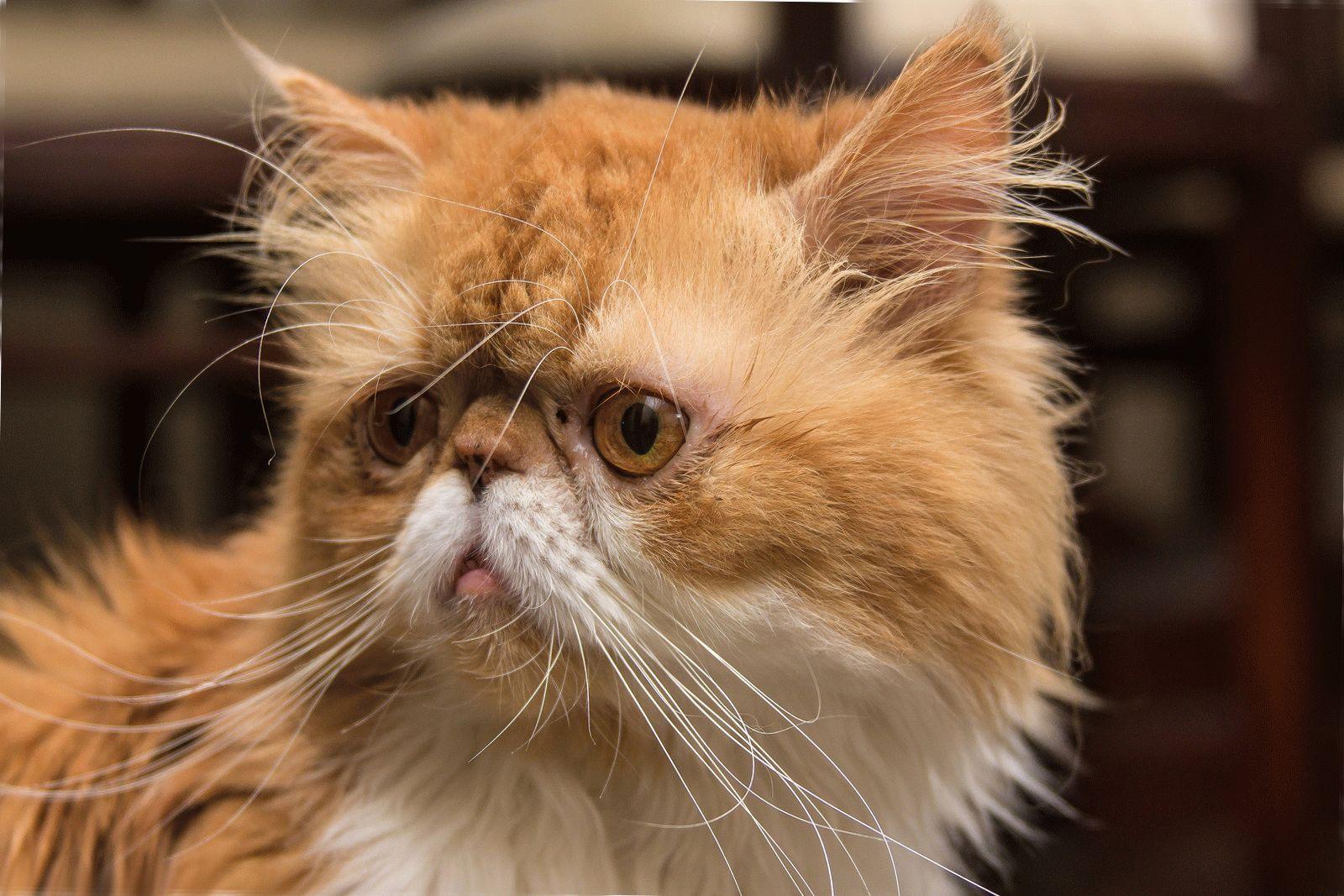 оформления коты с приплюснутой мордой порода и фото кадре анна