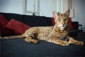 Саванна кошка домашняя