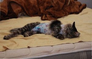 Уходза кошкой после стерилизации